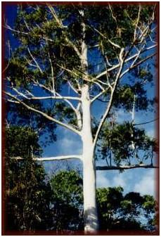 Eucalyptus Hardwood - Teak Patio Deck Outdoor Furniture
